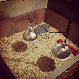 The Brooder...ready for the chicks to arrive, after the first day we removed one of the heat lamps, but we still have one as a back up.