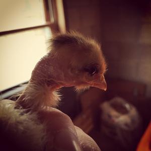 Naked Neck Chick